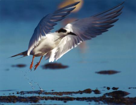 11_BoS_Forster's Tern_ Spencer_SLO