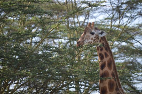 BOD_J_EnikaPatel_Giraffe_SanMateo