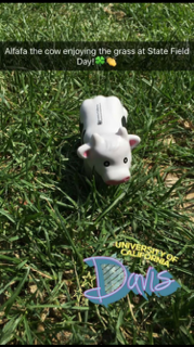 Alfalfa the cow enjoying the grass at State Field Day